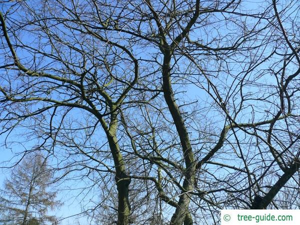 common hackberry (Celtis occidentalis) tree crown in winter