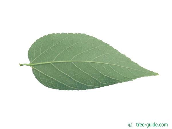 common hackberry (Celtis occidentalis) leaf underside