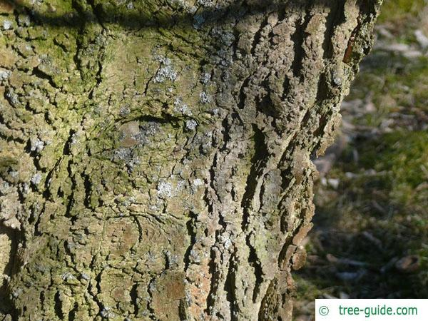 common hackberry (Celtis occidentalis) trunk / bark
