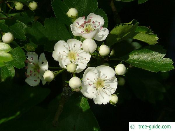 common hawthorn (Crataegus monogyna) flower