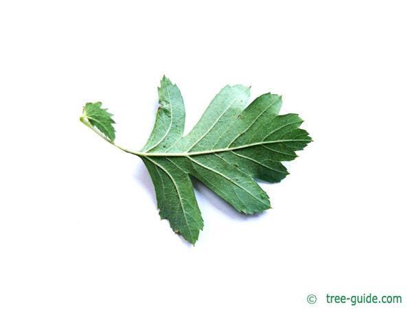 common hawthorn (Crataegus monogyna) leaf underside