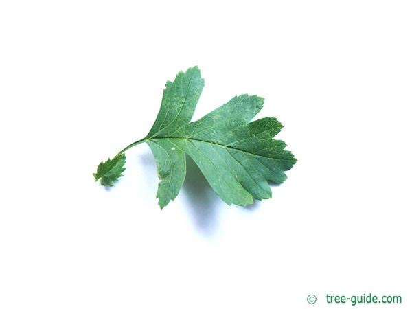 common hawthorn (Crataegus monogyna) leaf