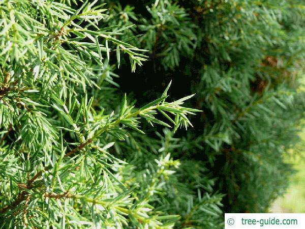 common juniper (Juniperus communis) branch