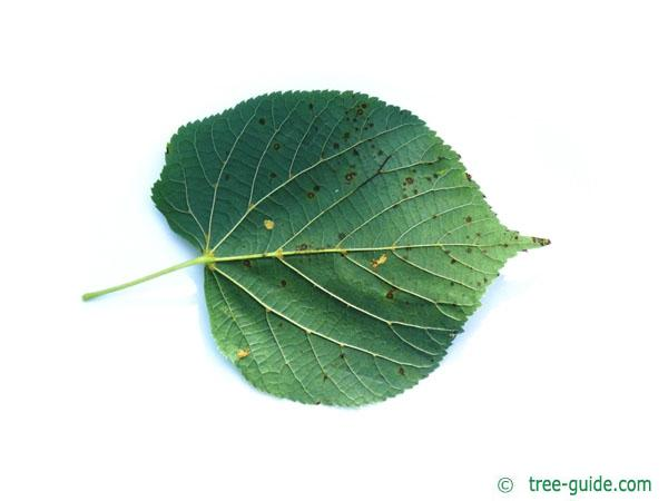common lime (Tilia intermedia) leaf underside