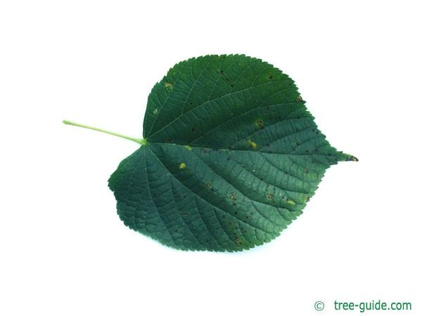 common lime (Tilia intermedia) leaf