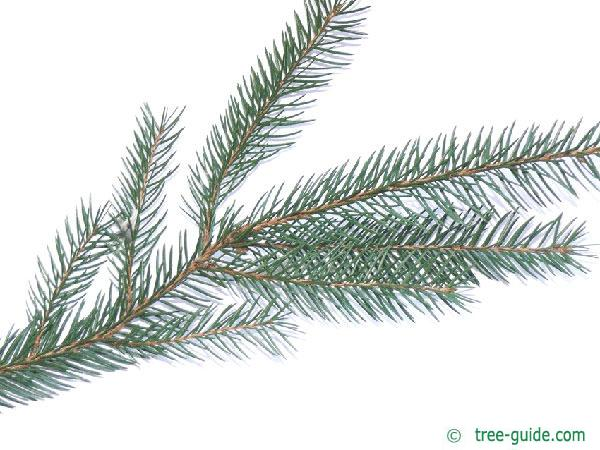 common spruce (Picea abies)