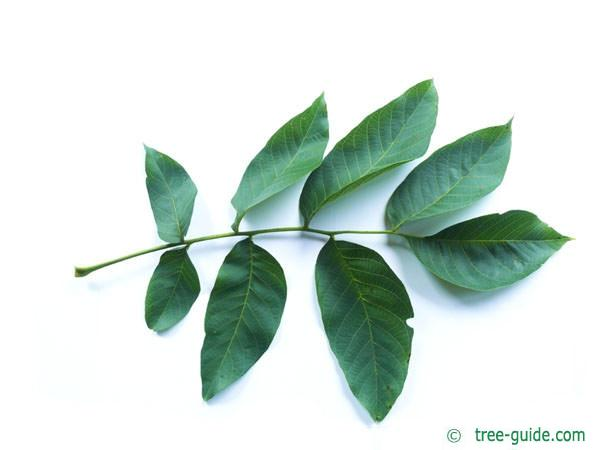 common walnut (Juglans regia) leaf