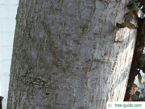 common walnut (Juglans regia) trunk