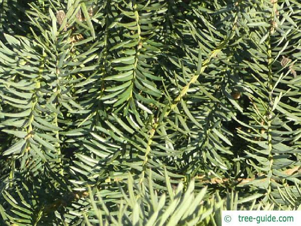 common yew (Taxus baccata)  branches