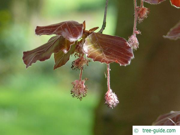 copper beech (Fagus sylvatica purpurea) flower