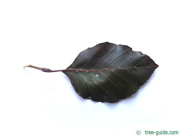 copper beech (Fagus sylvatica purpurea) leaf underside
