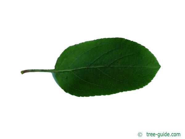 european crab apple (Malus sylvestris) leaf