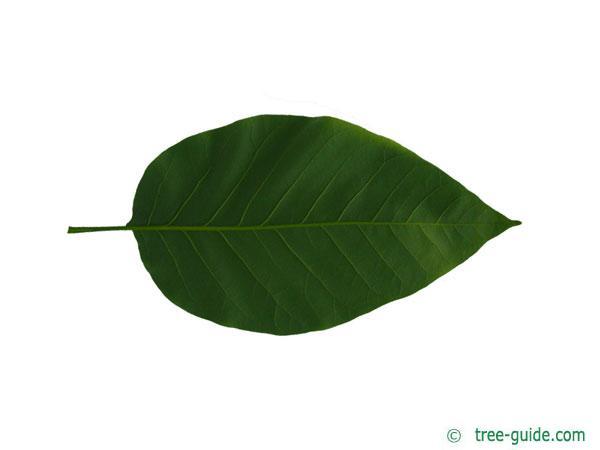 cucumber tree (Magnolia acuminata) leaf underside