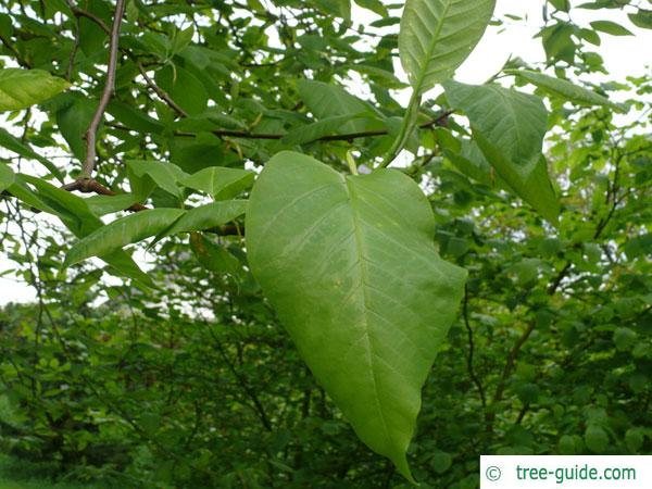 cucumber tree (Magnolia acuminata) leaves