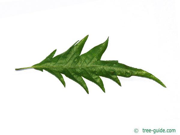 cut-leaf beech (Fagus sylvatica 'Laciniata') leaf underside