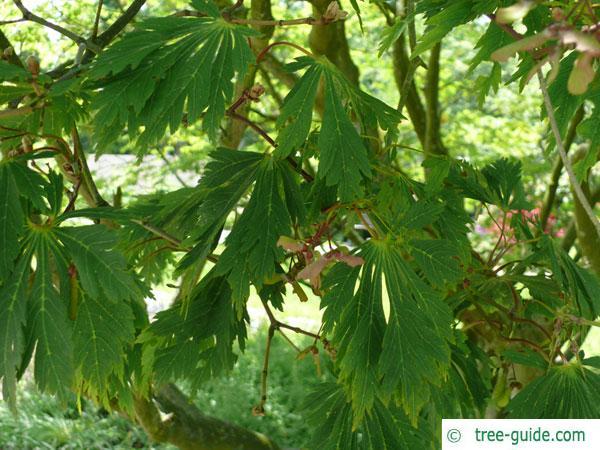 cut leaved japanese maple (Acer japonicum 'Aconitifolium') leaves