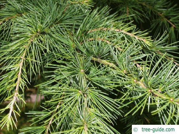 deodar cedar (Cedrus deodara) branches