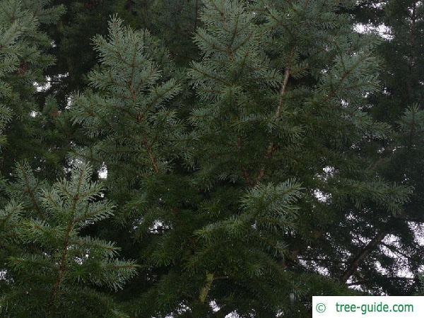 douglas (Pseudotsuga menziesii) branches