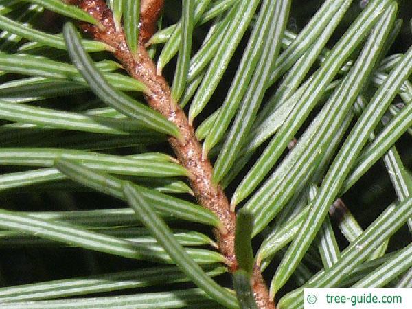 douglas (Pseudotsuga menziesii) needle underside