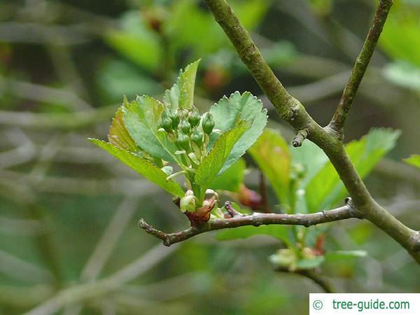 douglas hawthorn (Crataegus douglasii) budding
