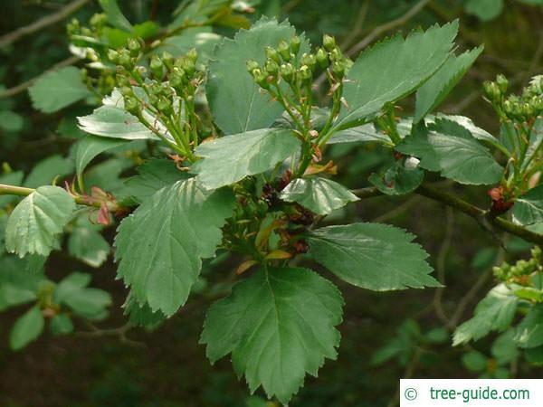 douglas hawthorn (Crataegus douglasii) leaf flower