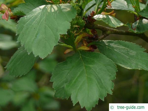 douglas hawthorn (Crataegus douglasii) leaves