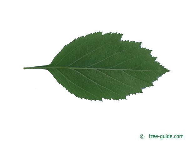 downy hawthorn (Crataegus mollis) leaf underside