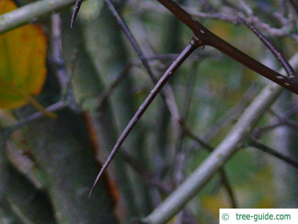 downy hawthorn (Crataegus mollis) thorns