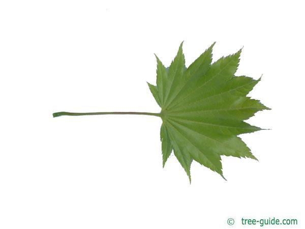 downy japanese maple (Acer japonicum) leaf underside