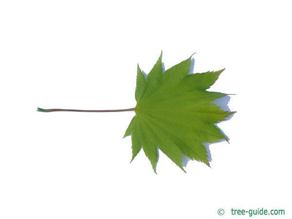 downy japanese maple (Acer japonicum) leaf