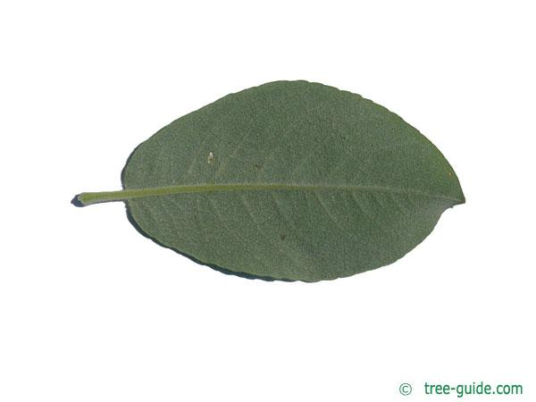 dune willow (Salix hookeriana) leaf underside