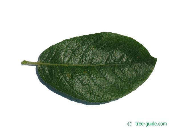 dune willow (Salix hookeriana) leaf