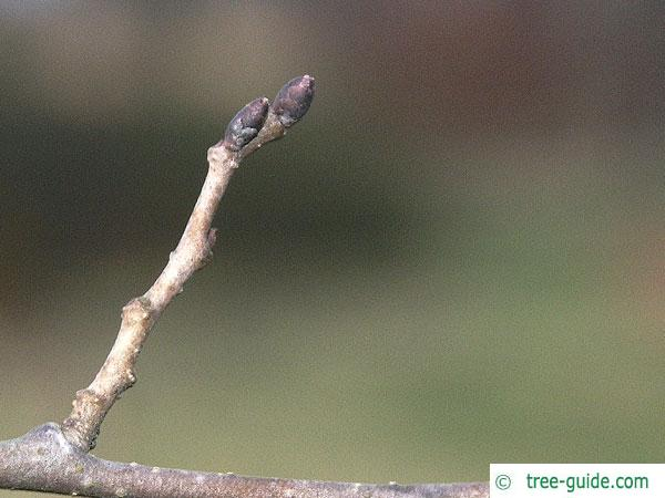 dutch elm (Ulmus hollandica) buds