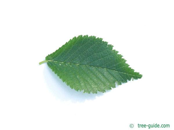 dutch elm (Ulmus hollandica) leaf