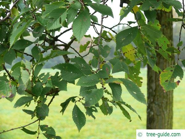 dutch elm (Ulmus hollandica) leaves