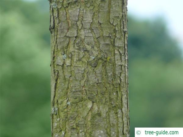 dutch elm (Ulmus hollandica) trunk / bark