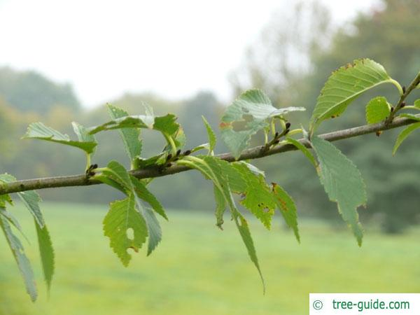 dutch elm (Ulmus hollandica) branch with leaves