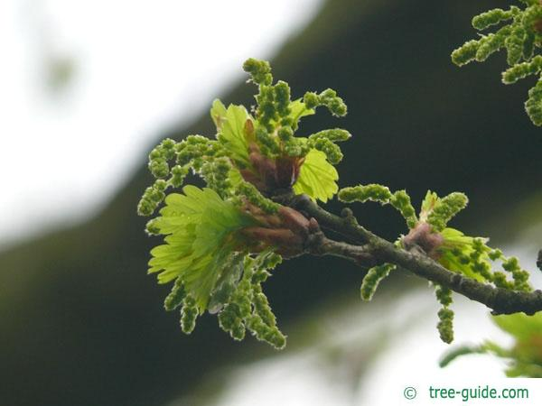 english oak (Quercus robur) budding in spring