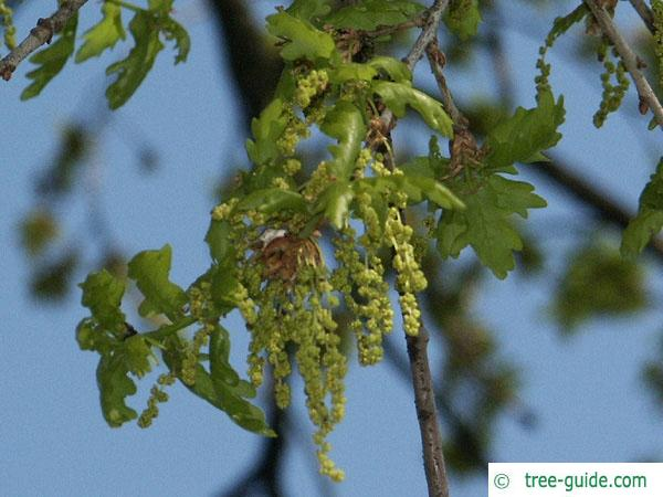 english oak (Quercus robur) flower