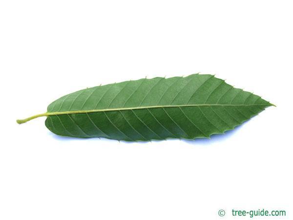 european chestnut (Castanea sativa) leaf underside