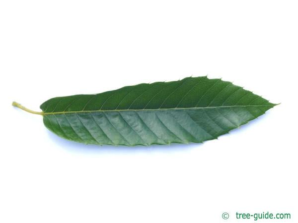 european chestnut (Castanea sativa) leaf