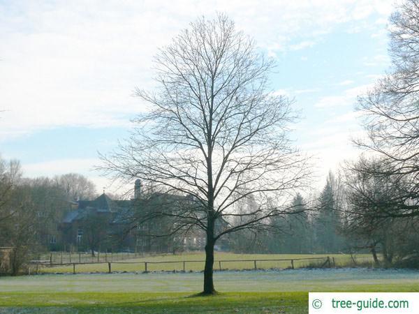 european chestnut (Castanea sativa) tree