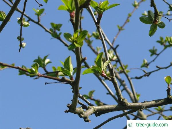 european crab apple (Malus sylvestris) apple budding