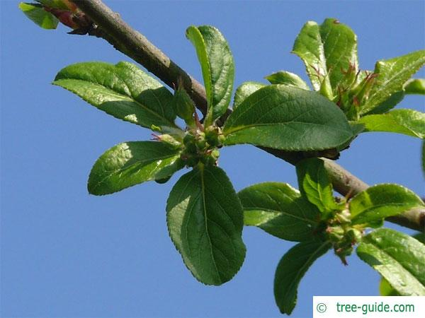 european crab apple (Malus sylvestris) apple flower buds