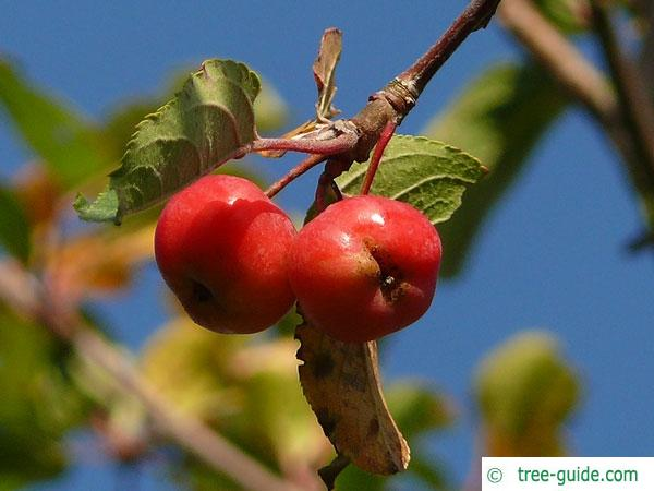 european crab apple (Malus sylvestris) apple fruit / apple