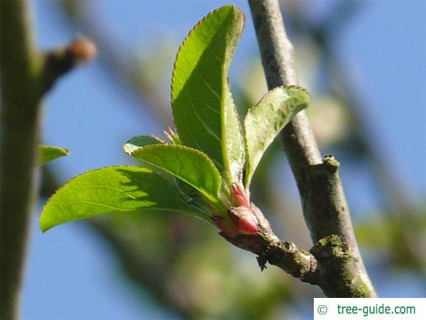 european crab apple (Malus sylvestris) apple leaf base