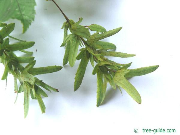 european hornbeam (Carpinus betulus) fruit