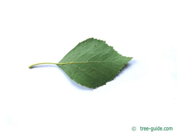 white birch (Betula pendula) leaf underside