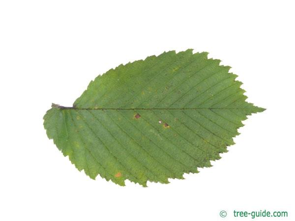 european white elm (Ulmus laevis) leaf