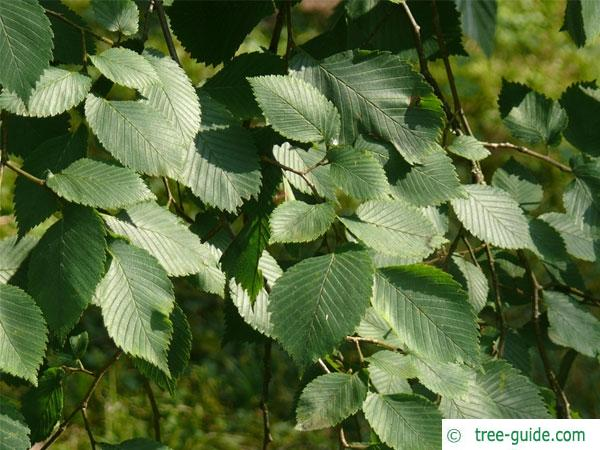european white elm (Ulmus laevis) leaves
